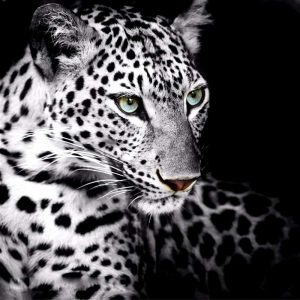 Photo of White Leopard Design