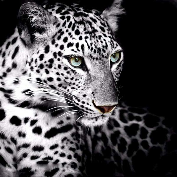 Photo of White Leopard Design