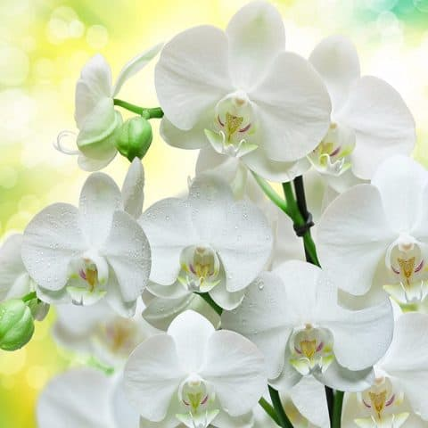 Photo of White Orchid Design