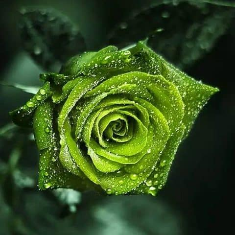 Photo of Green Rose Design
