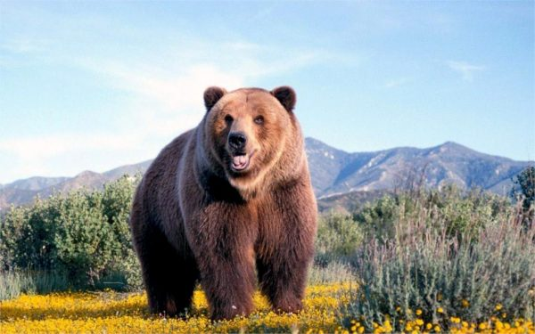 Photo of Grizzly Bear Diamond Painting Design