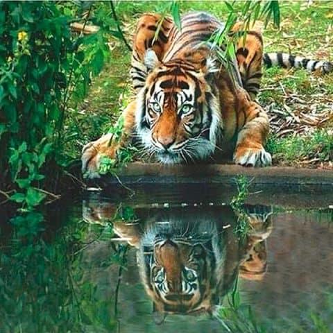 Photo of Crouching Tiger Reflection Diamond Painting Design