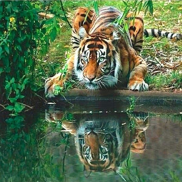 Photo of Crouching Tiger Reflection Diamond Painting Design