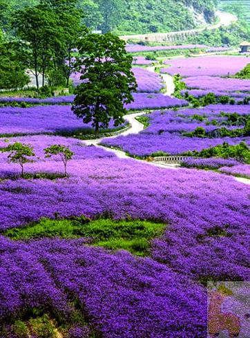 Photo of Lavender Fields Diamond Painting Design