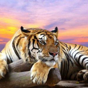 Photo of Crouching Tiger Sunset Diamond Painting Design