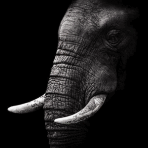 black and white elephant shadow