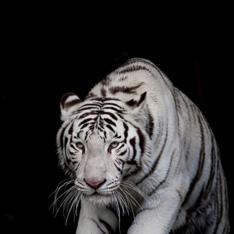 Black and White Tiger Pounce