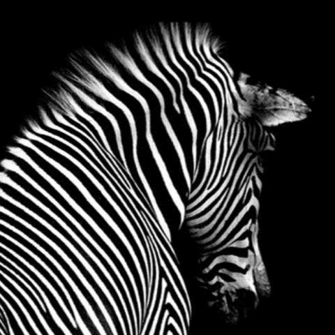 Black and White Zebra Back