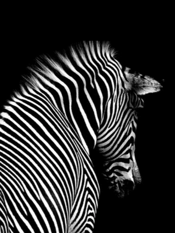 Black and White Zebra Back