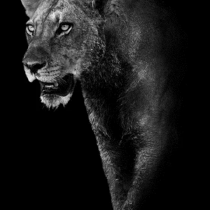 Black and White Lioness