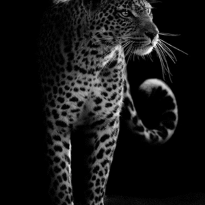 Black and White Leopard Shadow