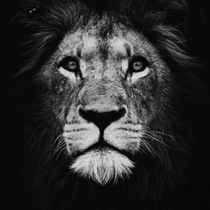 Black and White Lion Portrait